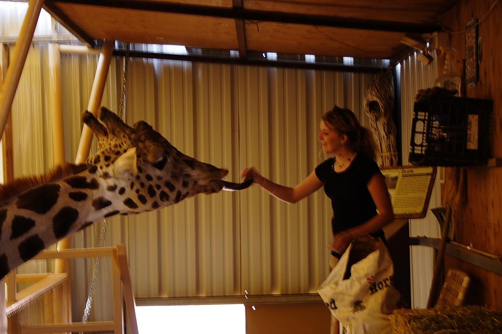 Neverland Ranch Giraffe eats lunch